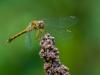 Meadowhawk (female)
