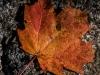 Opie's Maple Leaf #4