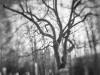 Cemetery Walnut #1