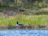 Loon #2 Sitting on Nest