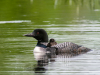 Adult and Chick #1 (2021 Loons)