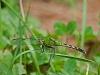 Common Pondhawk (female)