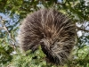 Porcupine Lunchtime #3