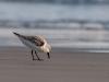 Semipalmated Sandpiper #2