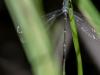Slender Spreadwing (male) ?