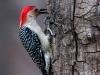 Red-bellied Woodpecker #3