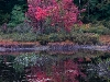 Swamp Maples Reflected