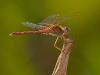 Autum Meadowhawk (?) Male