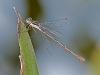Slender Spreadwing (female) ?