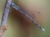 Swamp (?) Spreadwing (male)