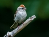 Chipping Sparrow (male)