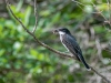 Eastern Kingbird with Prey
