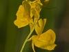 Horned Bladderwort (Utricularia cornuta)