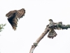 Merlin Pair with Prey (less than 1 second later)