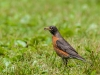 American Robin with Prey