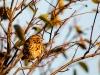 Song Sparrow #2
