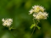 Tall Meadow Rice (Thalidrum pubescens)