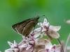 Moth Nectaring on Milkweed