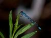Little Bluet (male) #3