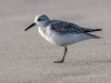 Western or Semipalmated Sandpiper #1