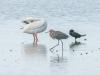 Trio -- White Pelican, Double-Crested Cormorant & Reddish Egret