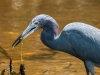 Little Blue Heron with Prey