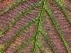 Autumn Leaf Detail #1