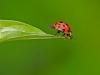 Lady Bug Leap