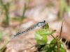 Bluet sp. (male)