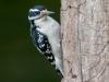 Hairy Woodpecker #3