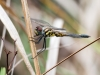 Dragonfly (ID Needed) 1