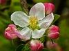 Apple Blossom #2