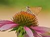 Butterfly (ID needed!) on Purple Coneflower