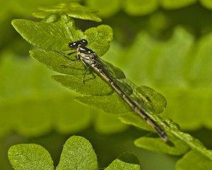A female bluet