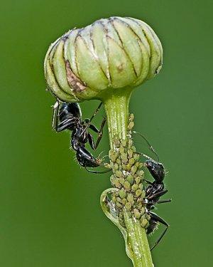 Ants Herding Aphids 1