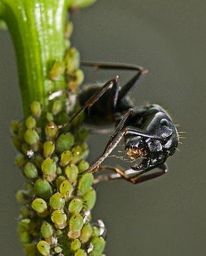 Ants Herding Aphids 2