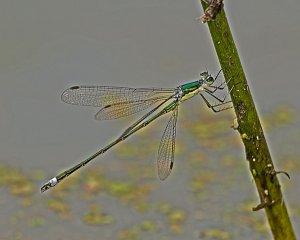 Emerald Spreadwing (male)