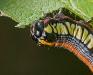 Caterpillar #2