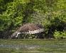 Osprey -- Missed!