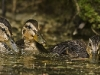 Mallard Ducklings Feeding