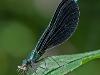 ebony jewelwing (male) with prey