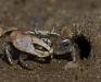 Fiddler Crab (3 of 3)