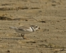 Piping Plover with Prey