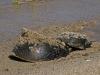 Horseshoe Crab Pair (3 of 4)