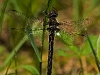Baskettail, male (probably Beaverpond, less likely  Spiny)