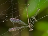Damselfly Entangled in spider's web