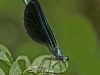 Ebony Jewelwing (male)