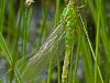 Common Pondhawk (female, teneral) 1