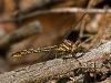 Lancet Clubtail (male)