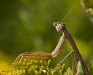 Praying Mantis #2